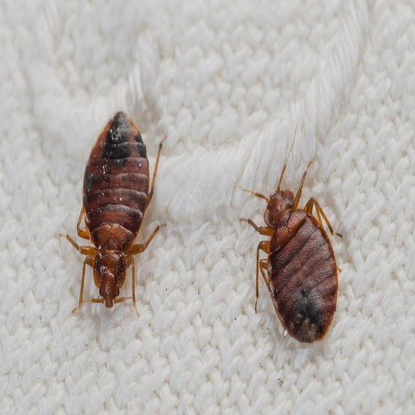 Bed Bug Control   Lawn & Pest Control Xperts