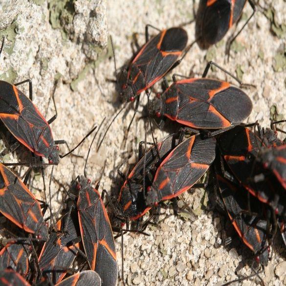 Box Elder Bug Control   Lawn & Pest Control Xperts